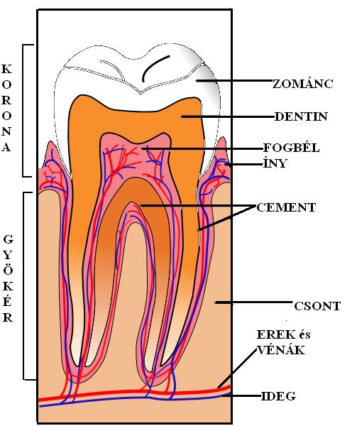 A fogszuvasodás megállítása a betegség korai szakaszában lehetséges.